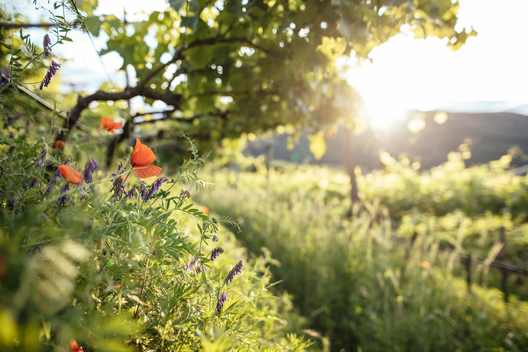 Sommerbeginn in den Weinbergen